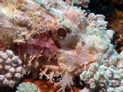 Scorpian fish- Great Barrier Reef- Aust Macro Lens by Joshua Miles