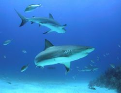Whaler Sharks in the Bahamas taken with Canon G1 in Ikeli... by Terry Moore
