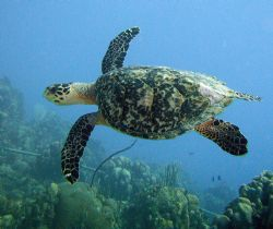 My favorite, the Hawksbill Turtle by Lora Tucker