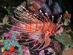 Lion fish - Was sitting under rock overhang with 2 others... by Ken Macken