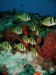 The Porkfish - they love to pose! This photo was taken in... by Steven Anderson