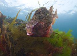 Male Lumpsucker in the shallows. Babbacombe. Devon. S2 p... by Derek Haslam