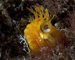 Yellowfin Fringehead, Anacapa Isl. CA  Canon 20D, 60mm,... by Dan Blum