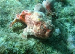 Pink frogfish using its lure. Bonaire. Canon SD 550. by Paul Holota