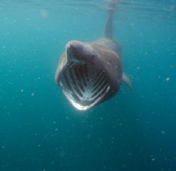 Basking shark feeding. Cornwall.