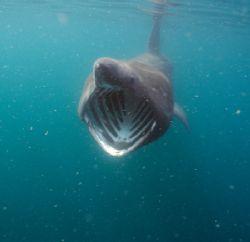 Basking shark feeding. Cornwall. F50, 20mm. by Derek Haslam