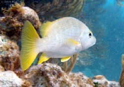 yellow tailed snapper by Andrew Kubica