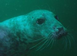 A Seal of the Farne Islands,Northumberland. by Ian Palmer