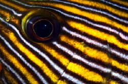 Sweetlips Eye and Cheek Closeup by Alex Tattersall