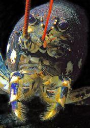 Lobster. Porth Ysgaden, N. Wales. F90X 60mm. by Mark Thomas