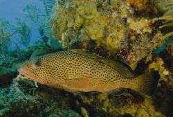 Nice Grouper Just Hanging Out by William Sturgeon