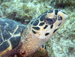 One of my favorites, the Hawksbill Turtle by Lora Tucker