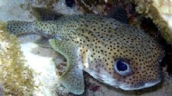 Puffer fish- Olypus SP-350 by Andrew Kubica