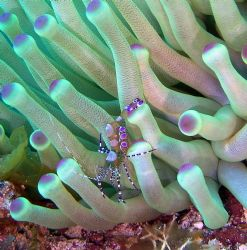 Spotted Cleaner Shrimp on Purple Tipped Anemone at Columb... by Kenneth Bailey