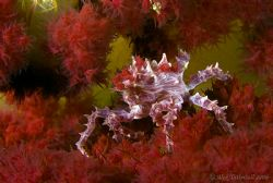 Soft coral crab !! A favourite critter for sure. by Alex Tattersall