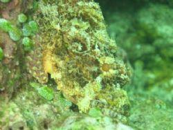 Perfectly Camoflauged Scorpion Fish. El Nido, Palawan. by Ben Nichols