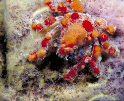Cryptic Teardrop Crab, Bonaire Town Pier NikIII, 35mm w/... by Dan Blum