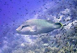 Female Napolean Wrasse, at the brothers, southern red sea. by Ian Palmer
