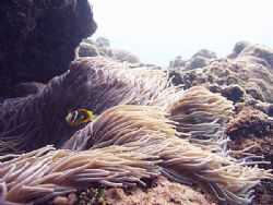 """"""" Clownfish in the Current """", the Clownfish looked franti... by Nicolas Pohl"""
