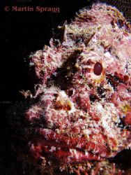Scorpion fish in profile. by Martin Spragg