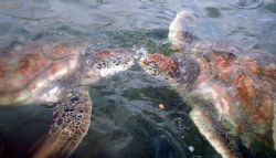 2 turtles kissing at the Boatswain Bay Turtle Farm in Gra... by Andrew Kubica