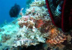 Scorpion Fish taken in Camiguin by Michelle Tinsay
