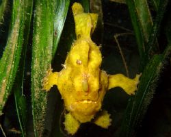 Painted Frogfish on seagrass. Photo taken in 15ft of wate... by Carlos Munda