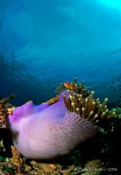 Anemone & Fish in RA by Dr Bob Whorton
