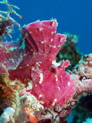 Leafy Scorpian Fish,Great Barrier Reef third time at this... by Joshua Miles