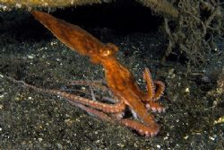 Pointed headed Ocky on the move... from Lembeh by Alex Tattersall