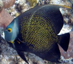 Angel Fish - Olypus SP-350 by Andrew Kubica