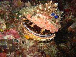 Fish sleeping on clam. Balicasag, Visayas. by Ben Nichols