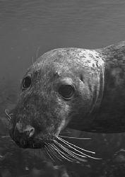 Grey seal. Farne Islands. D200 20mm. by Mark Thomas
