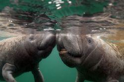 Pucker Up.Taken at Crystal River FL.Camera D-200 Nikon by Ray Eccleston