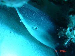 Reef shark sleeping in a hollow in the reef. Taken at app... by Kim Mair