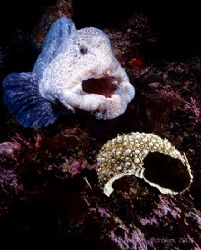 Wolf-eel, Dillon Rock, BC. Nikon N90, 28mm, (2)S&S YS-90's by Dan Blum