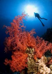 Big soft coral meet an diver and in meaddle there is the ... by Marchione Giacomo