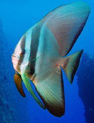 Batfish - Saipan Grotto by Martin Dalsaso