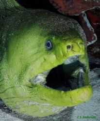 Green Moray eel taken in Cozumel during a recent trip in ... by Steven Anderson