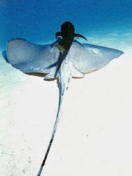 Southern Ray with Bar Jack.