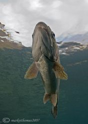 Trout. Capernwray. Jan 07. D200 20mm. by Mark Thomas
