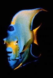 angel fish by Sergio Loppel