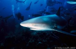 Caribbean Reef Shark, Nikonos V, 15mm lens, SB-105. by Mike Smith