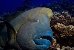 Wally the Napoleon Wrasse found at Muri Muri divesite nea... by Allan Vandeford