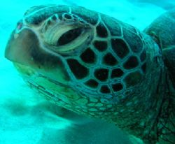 turtle. off waikiki. by Elizabeth Chase