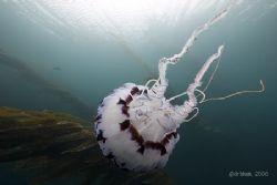 Drifting through the kelp, Chrysaora colorata, Monterey B... by Dan Blum