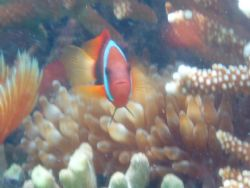 clown fish at the reepwalker point in saipan... by Andrew Ortega