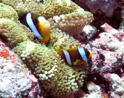 Nemo at the Great Barrier Reef by Heather Shaw