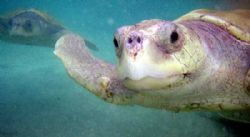 U/W shot of turtle beeing raised at Grand Cayman's Boatsw... by Andrew Kubica