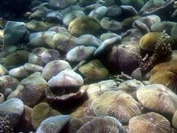 Shield Mushroom Corals on sloping wall. 12m, Sept 2006. by Todd Hansen